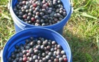 Blueberries for Belarus