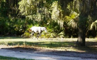 The horses on Cumberland Island